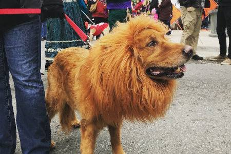 Little Rock's Barkus on Main Pooch Parade, a dog wearing a lion costume